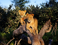Two Lions in Tree