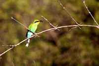 Swallow Tailed Bee Eater