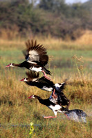 Spur Wing Geese